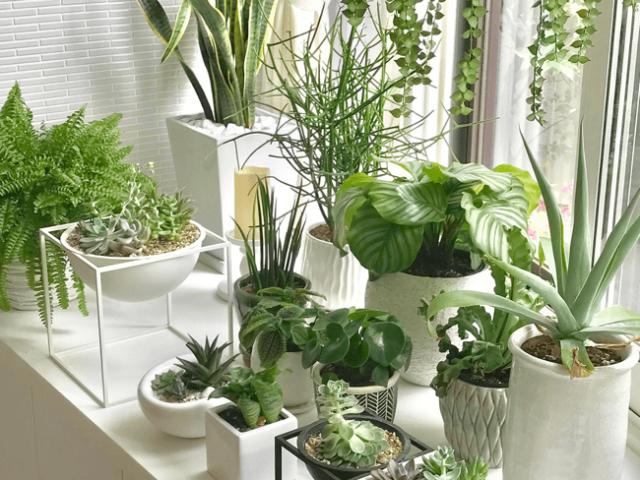 Foliage_plant